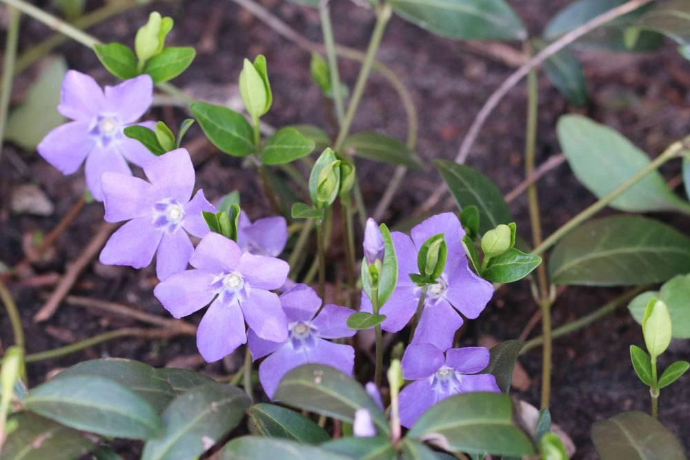 Kleines Immergrün mit zauberhaften lila Blüten