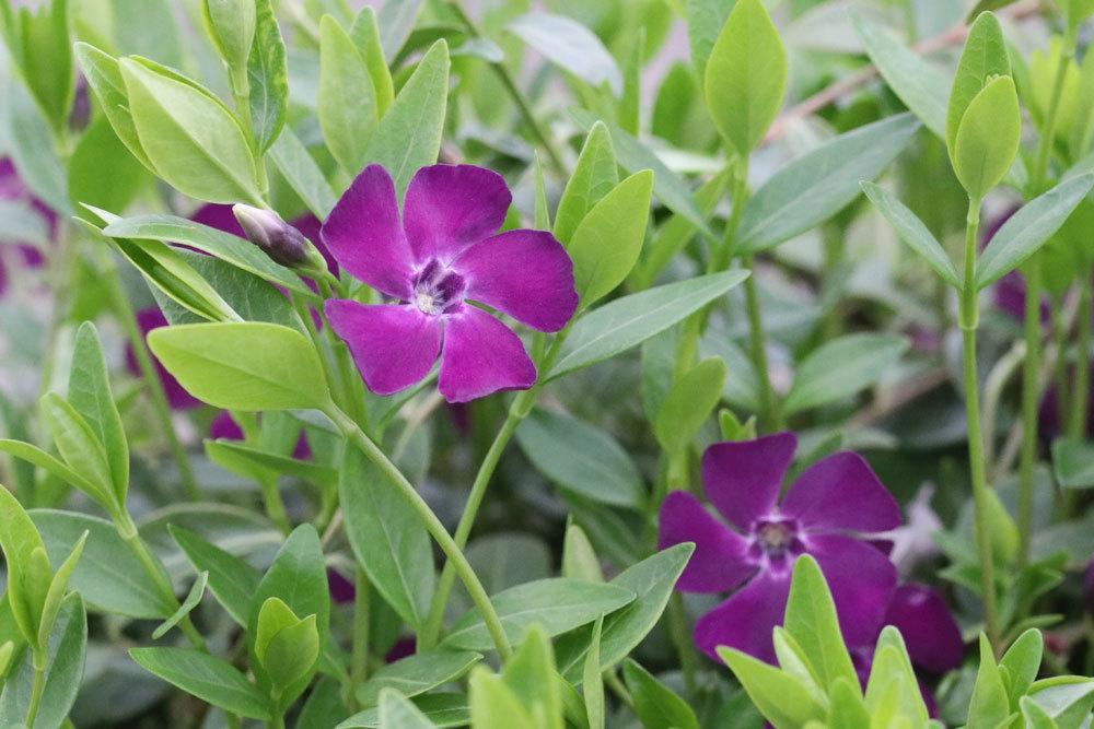 Kleines Immergrün braucht nährstoffreichen Boden