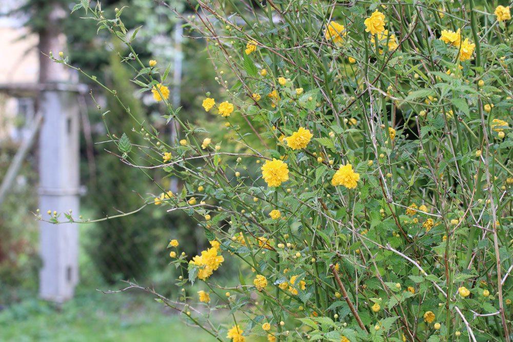 Gefüllter Ranunkelstrauch, Kerria japonica Pleniflora