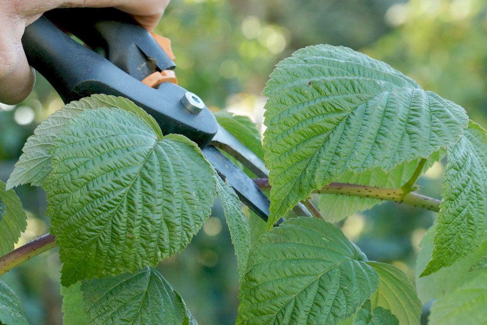 Himbeeren verschneiden als Pflanzenschutz