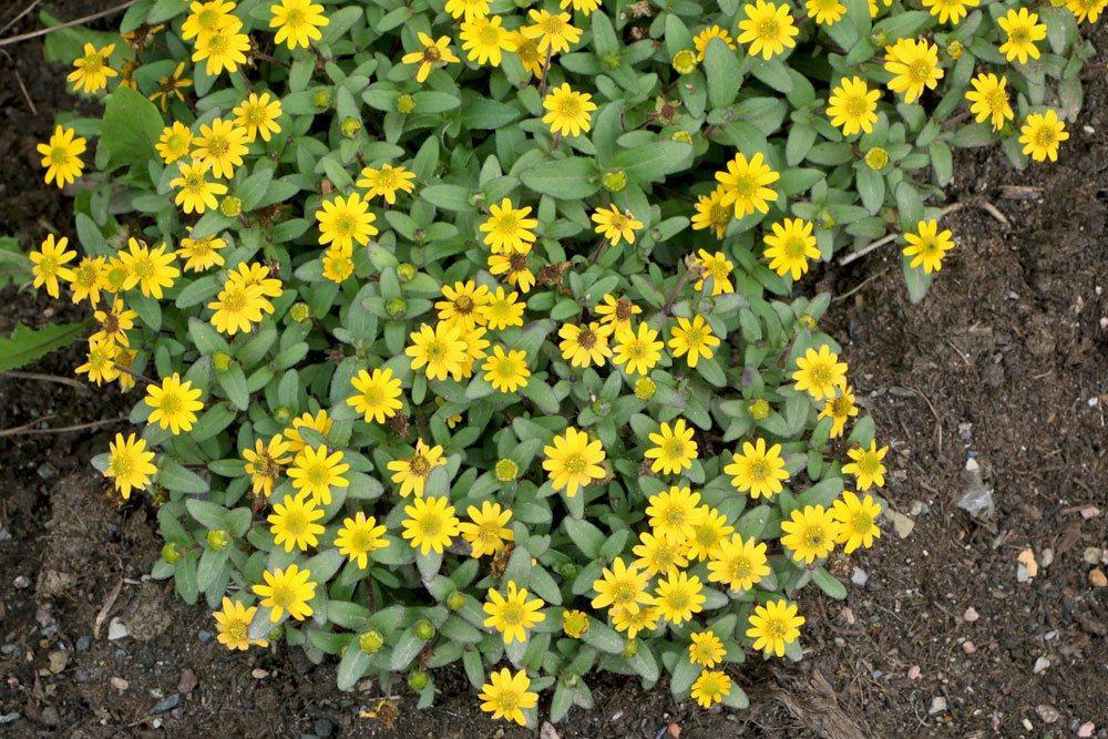 Husarenknöpfchen wird auch Goldrandblümchen genannt