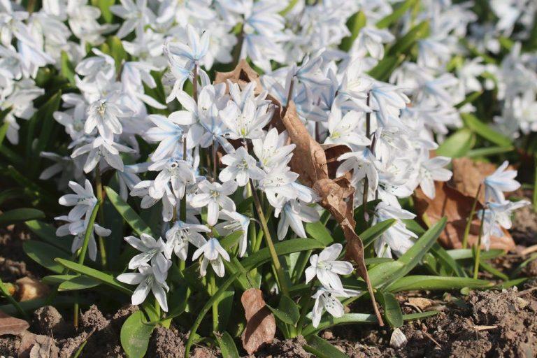 Blaustern im Gartenbeet