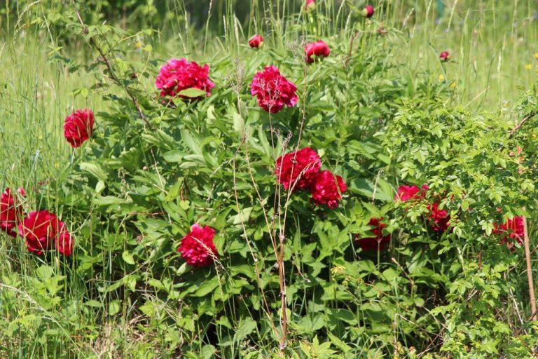 Pfingstrosen im Beet pflanzen