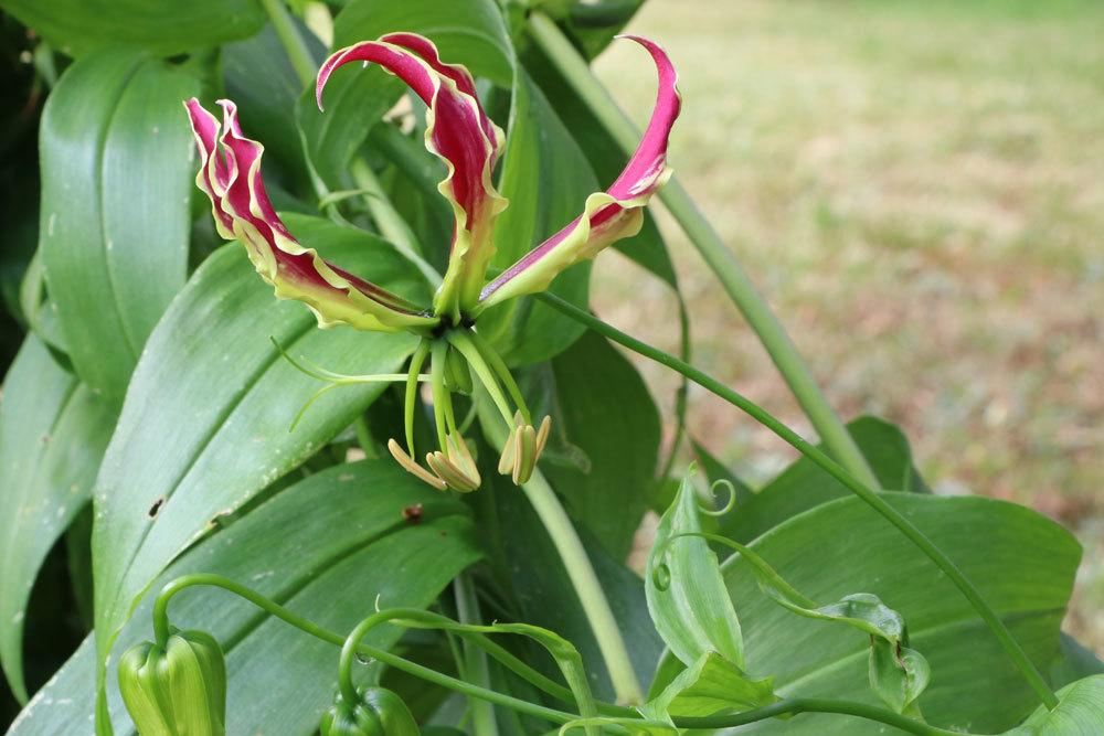 Ruhmeskrone, Gloriosa superba