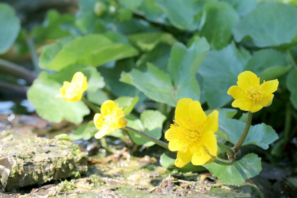 Sumpfdotterblume, Caltha palustris ist eine Feuchtgebietspflanze