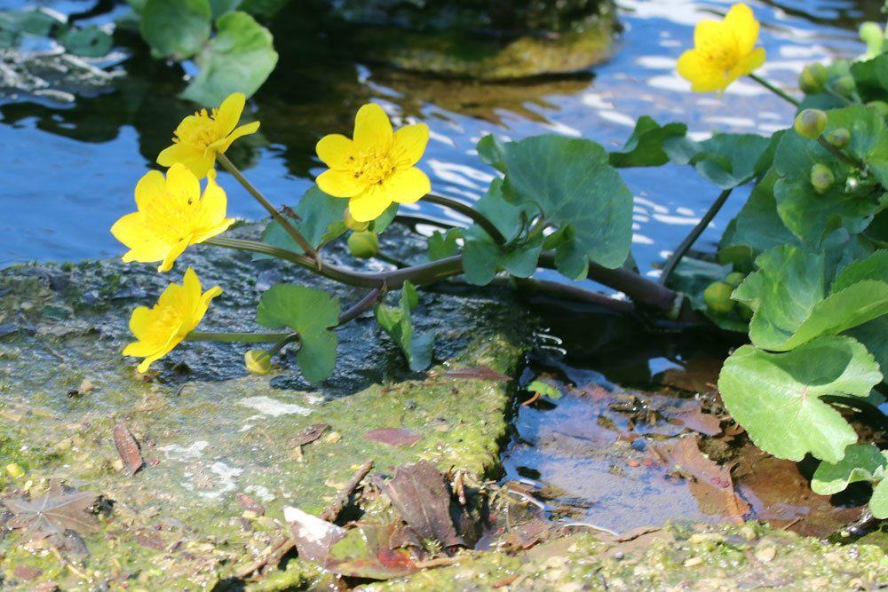 Sumpfdotterblume für Natur- oder Wassergarten geeignet