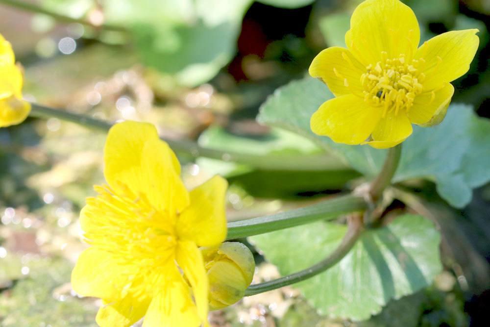 Sumpfdotterblume wird von Ende August bis Mitte Oktober gepflanzt