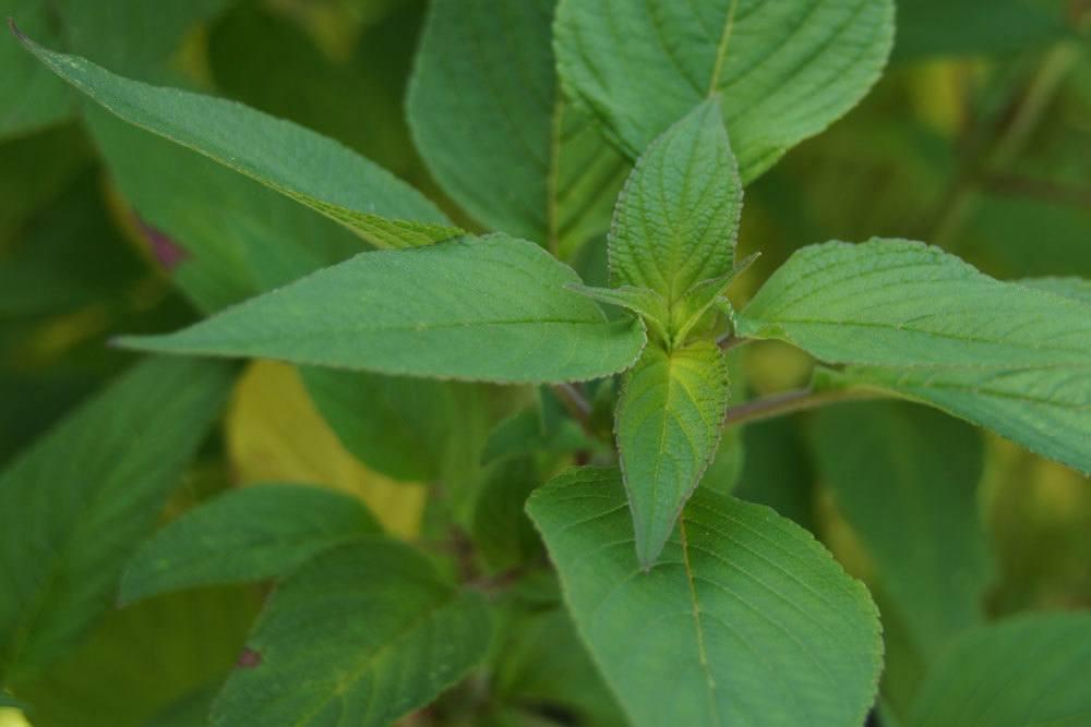 Ananassalbei, Salvia elegans wird auch als Salvia rutilans bezeichnet
