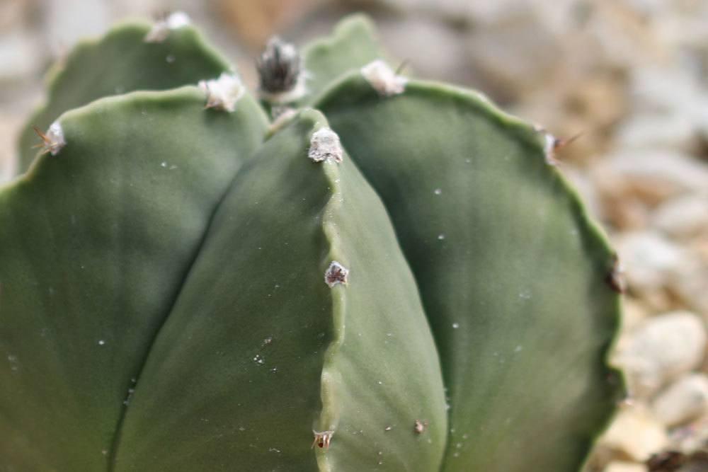 Bischofsmütze Kaktus wird auch Sternkaktus genannt