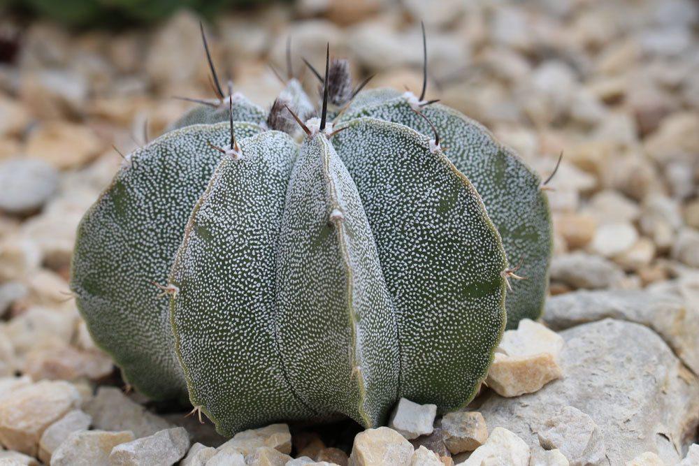 Bischofsmütze Kaktus, Astrophytum myriostigma