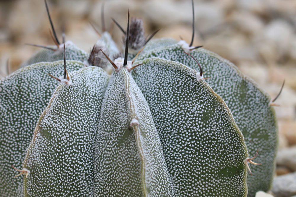 Bischofsmütze Kaktus blüht von März bis Oktober