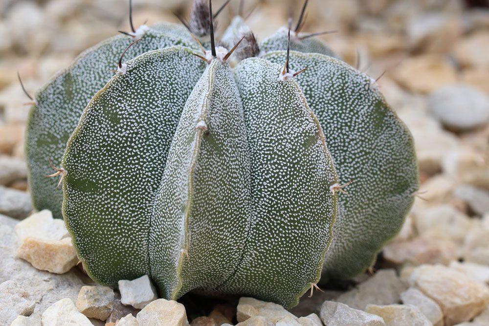 Bischofsmütze Kaktus mit gewölbten Rippen ist dornenlos