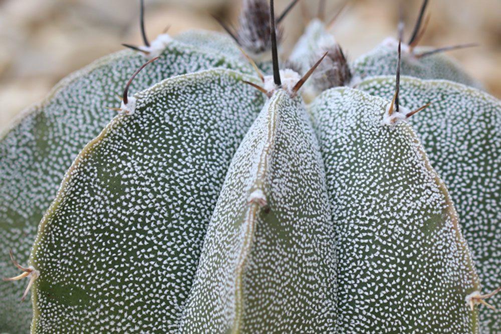 Bischofsmütze Kaktus, Astrophytum myriostigma stammt aus Mexiko