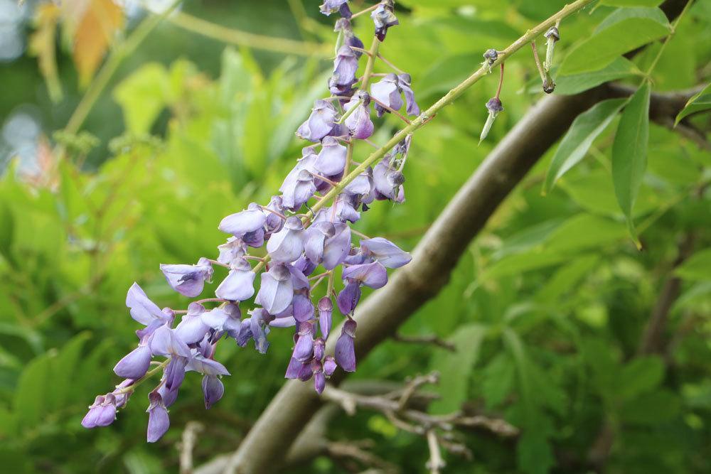 Blauregen, Wisteria im Garten