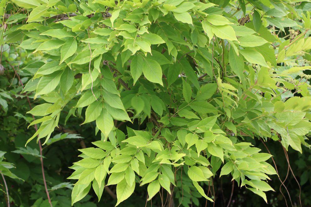 Blauregen mit seinen grünen Blättern