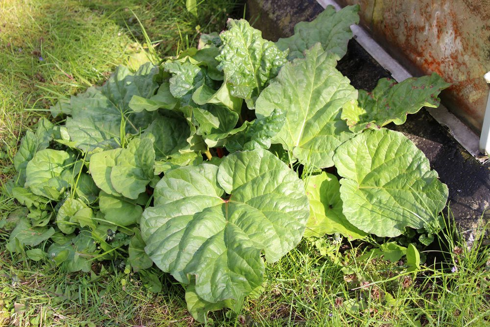 Rhabarber mit seinen großen grünen Blättern
