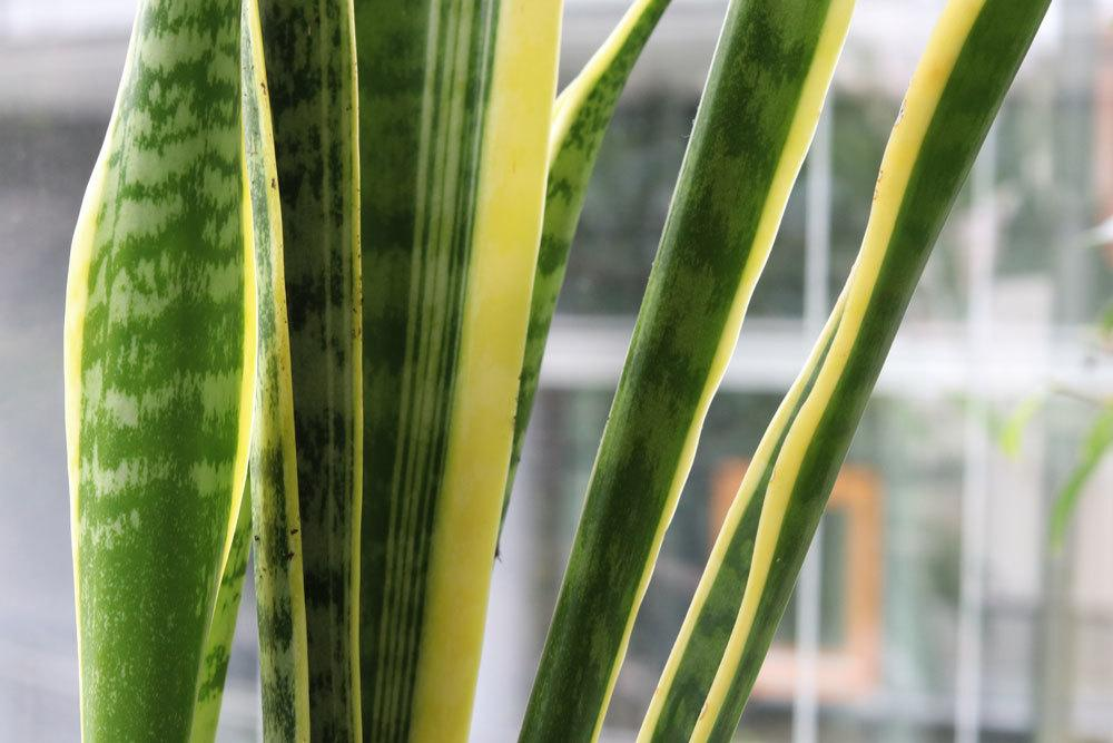 Bogenhanf, Sansevieria trifasciata