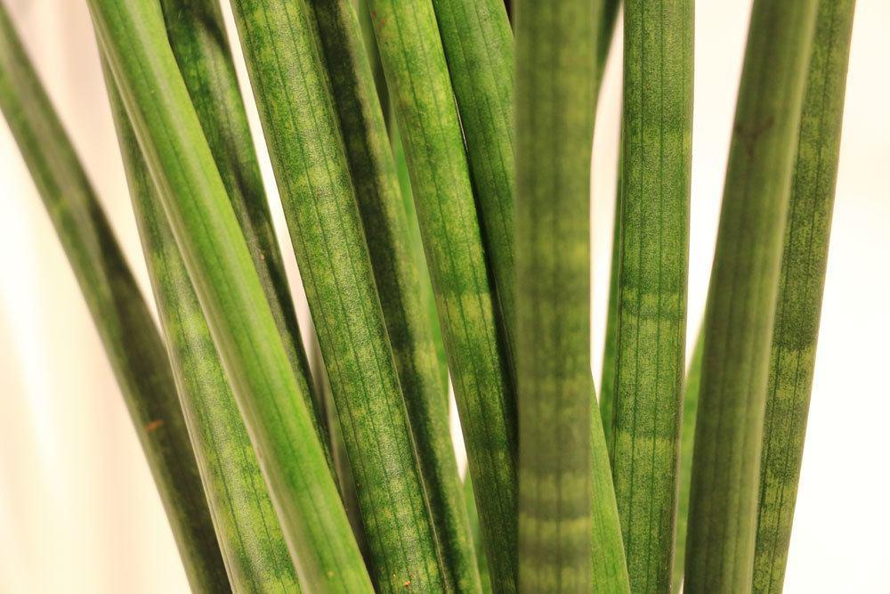 Bogenhanf, Sansevieria cylindrica