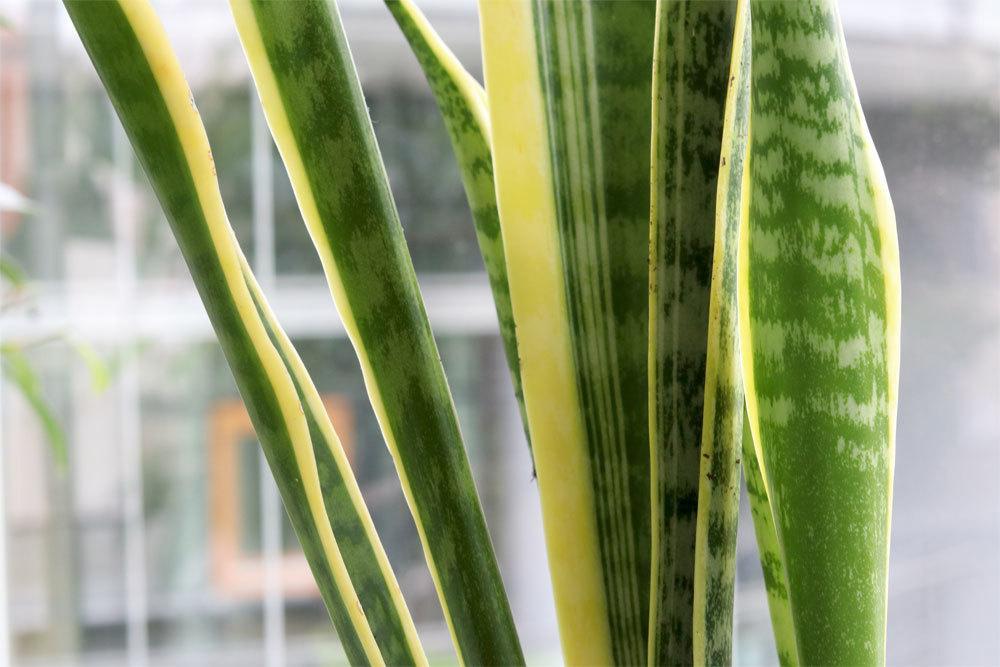 Sansevieria trifasciata ist sehr pflegeleicht