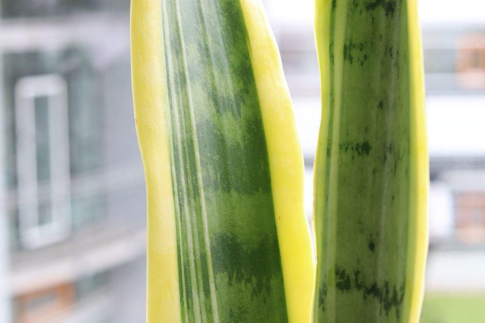 Sansevieria trifasciata hat reinigende Wirkung auf die Raumluft