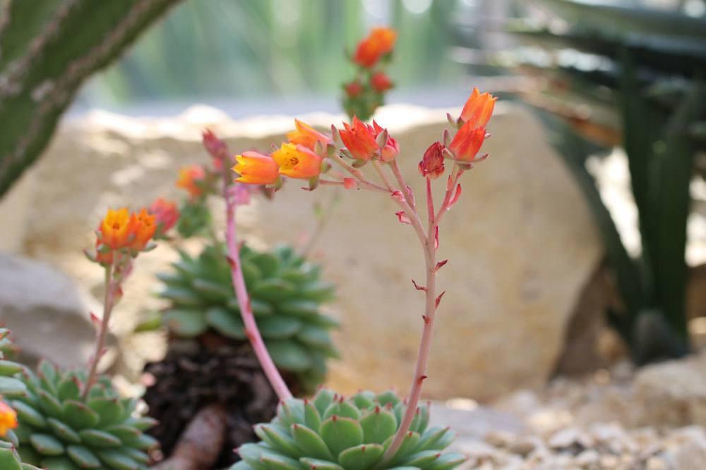 Echeveria derenbergii ist eine genügsame Pflanze