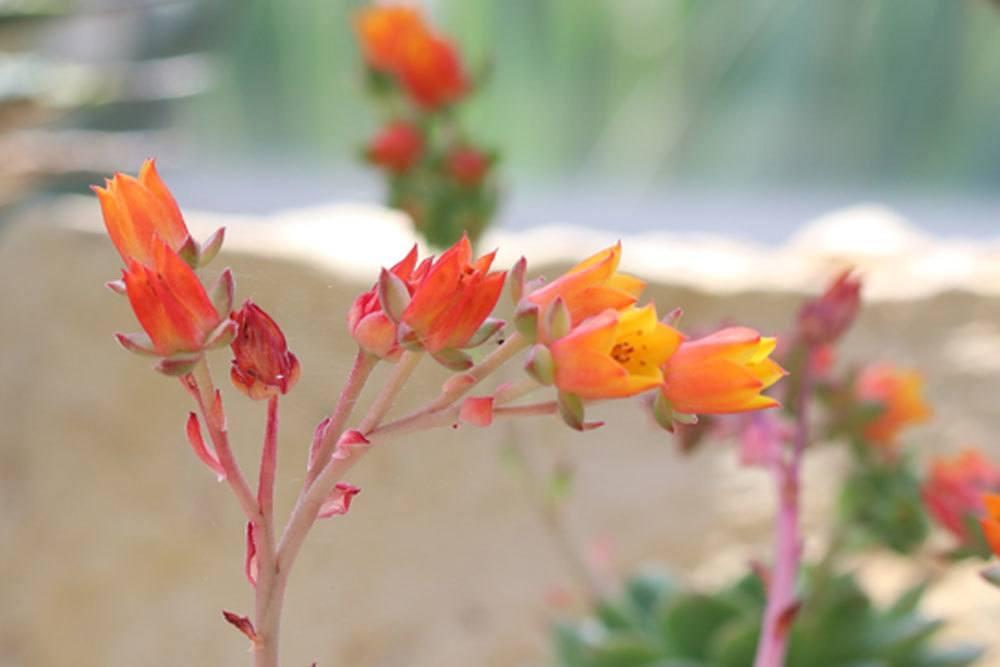 Echeveria derenbergii wächst bis zu 10 Zentimeter hoch