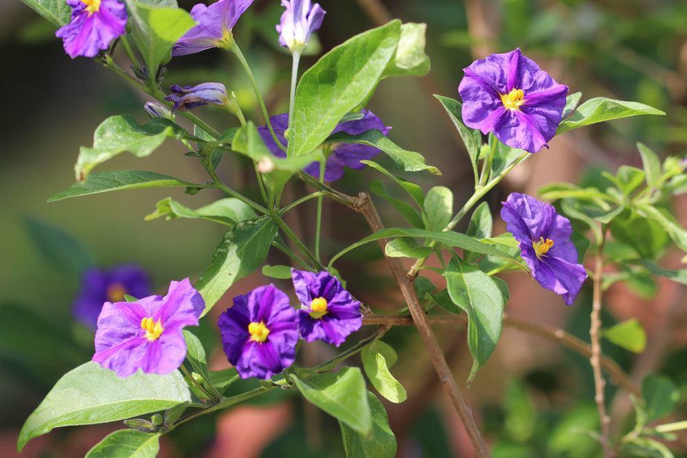 Enzianbaum ist eine sehr beliebte Kübelpflanze
