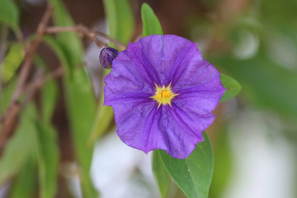 Enzianbaum, Solanum rantonnetii gehört zu den Nachtschattengewächsen