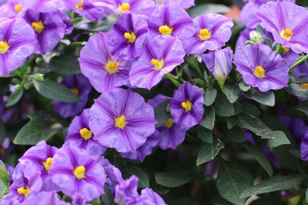 Enzianbaum, Solanum rantonnetii mit seinen violett-blauen Blüten