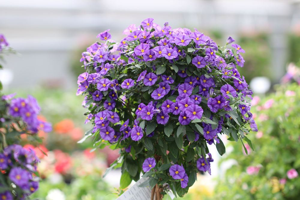 Enzianbaum kann auch als Hochstämmchen kultiviert werden