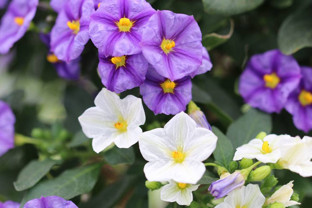 Enzianbaum, Solanum rantonnetii ist eine sehr anmutige Pflanze