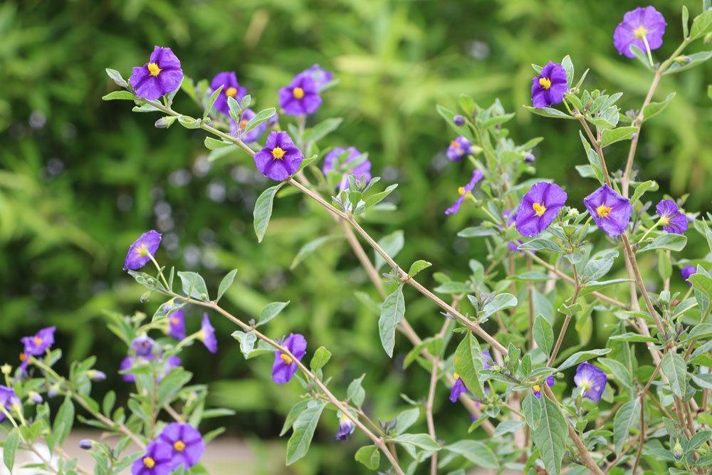 Enzianbaum, Enzianstrauch, Solanum rantonnetii