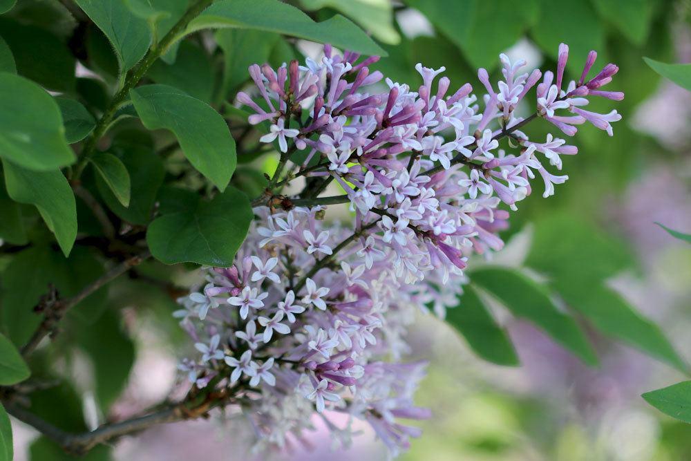 Flieder richtig vermehren und in der Blütezeit schneiden