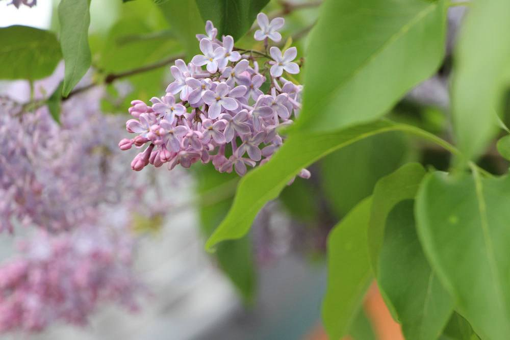 Fliederbaum, Syringa blüht von April bis Juni