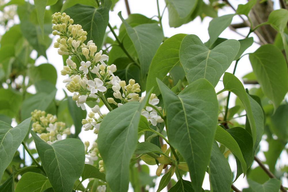 Fliederbaum ist in all seinen Pflanzenteilen schwach giftig