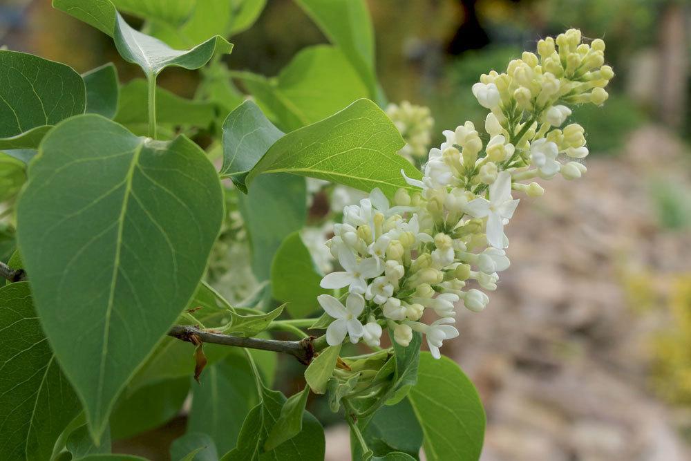 Fliederbaum, Flieder, Syringa mit weißer Blütenfarbe