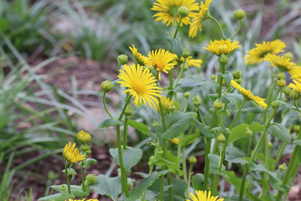 Gämswurz ist eine beliebte Pflanze für einen Staudengarten