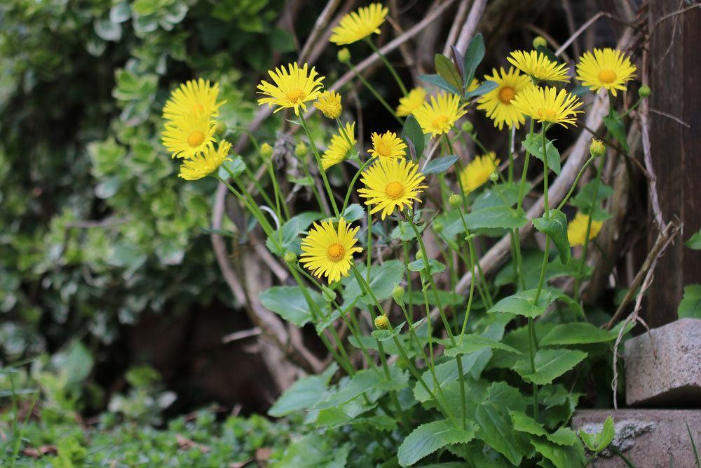 Gämswurz mit seinen leuchtend gelben Blüten