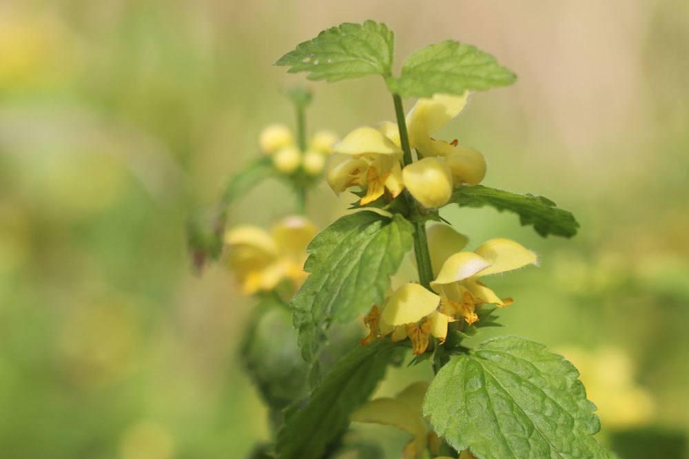 Goldnessel eine Staude mit leuchtend gelben Blüten