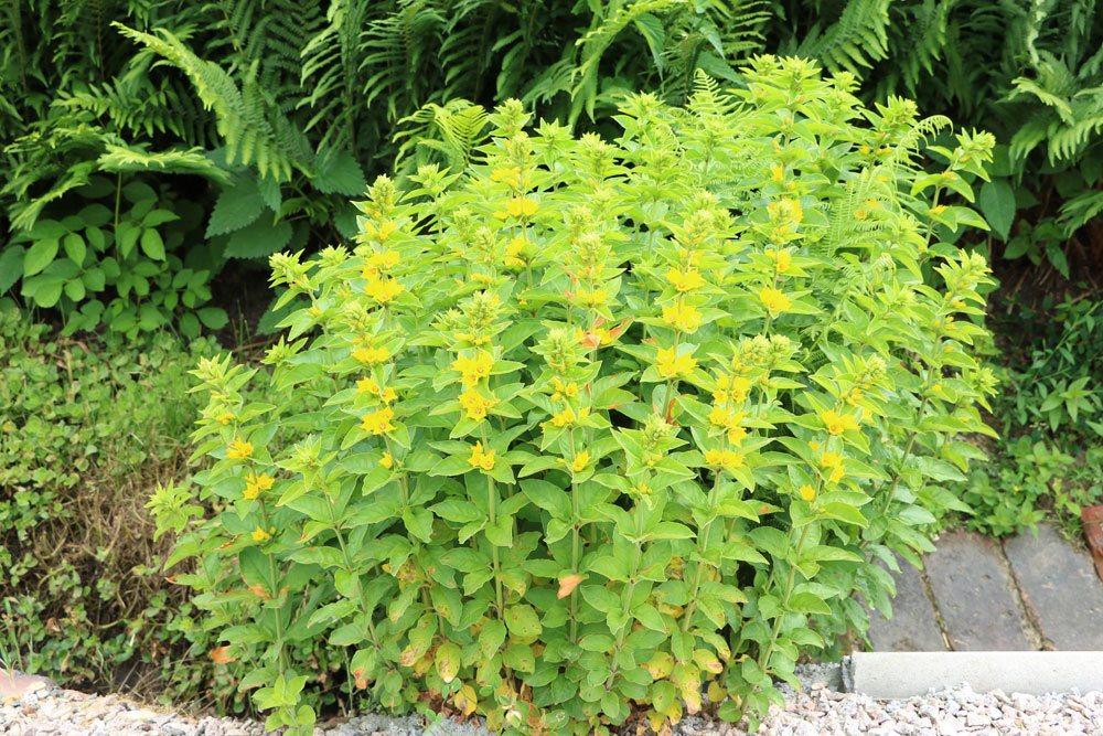 Gilbweiderich, Lysimachia vulgaris wächst auch als Wildpflanze
