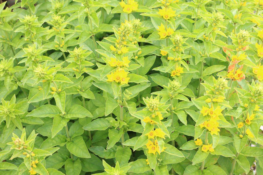 Gilbweiderich, Lysimachia vulgaris ist auch als Uferbepflanzung geeignet