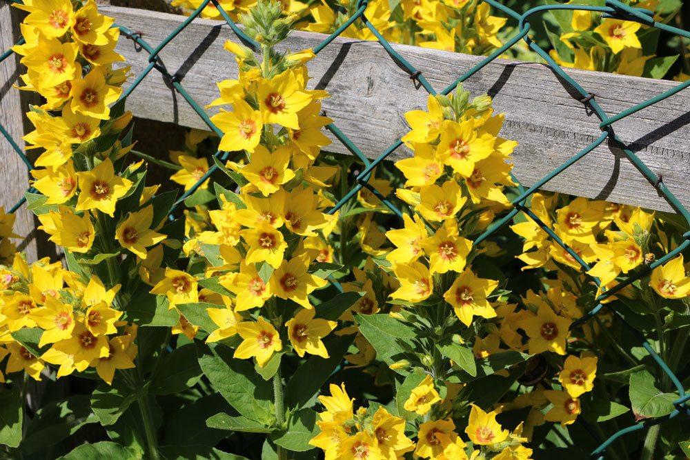 Gilbweiderich, Lysimachia vulgaris blüht von Juni bis August