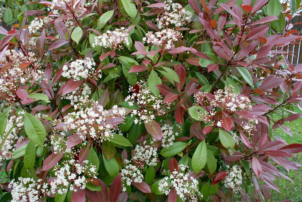 Glanzmispel Photinia fraseri 'Red Robin' mit weißen Blüten als doldige Schirmrispen