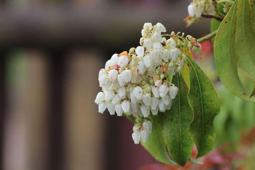 Glanzmispel ist ein schönes Ziergehölz mit kleinen weißen Blüten