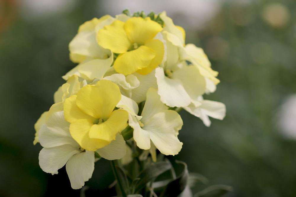 Goldlack Blume ist in seinen Pflanzenteilen giftig