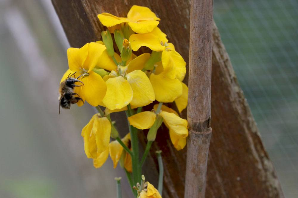 Goldlack Blume mit leuchtend gelben Blüten
