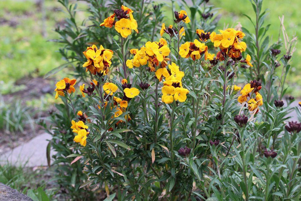 Goldlack Blume, Erysimum cheiri
