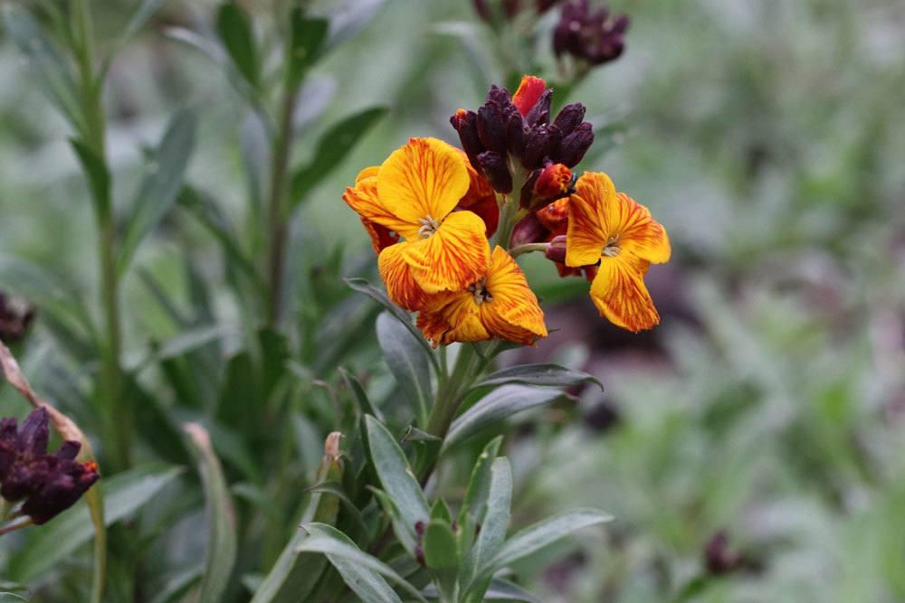 Goldlack Blume mit gelb-orangen und rötlich durchzogenen Blüten