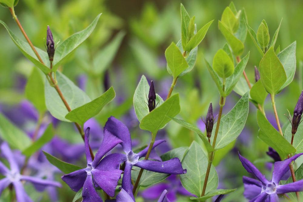 Großes Immergrün blüht von April bis Mai
