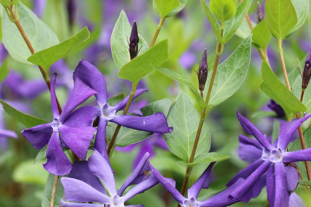 Großes Immergrün ist in all seinen Pflanzenteilen giftig